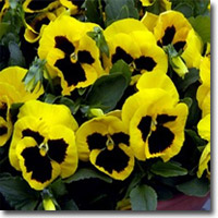 annual_pansies